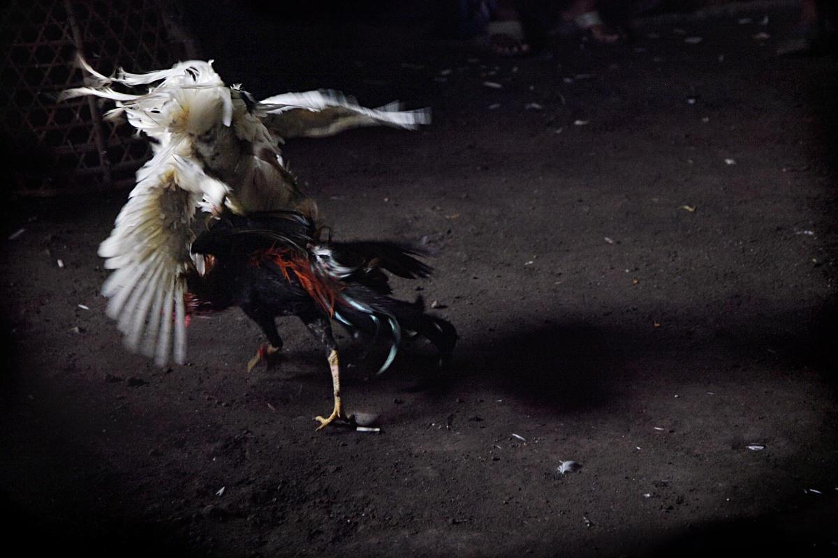 Agen Taruhan Laga Ayam