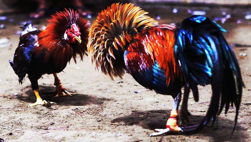 Situs Adu Ayam Terbesar