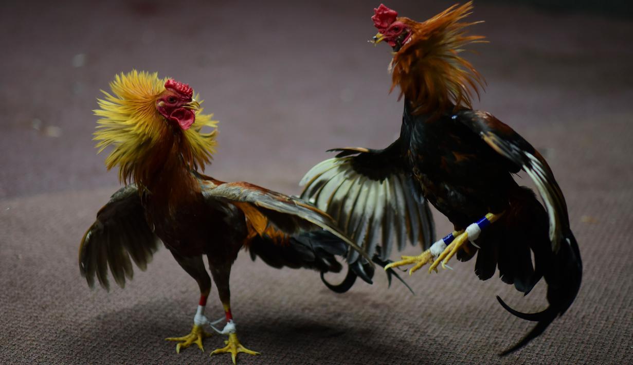 Agen Taruhan Sabung Ayam